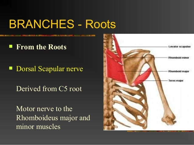 F Pain Radiation Dermatomes additionally Anatomy Of Brachial Plexus furthermore Brachial Plexus Made So Easy likewise C C as well Pathophysiologic Aspects Clinical Manifestation A Nd Management Of. on c5 c6 nerve root distribution
