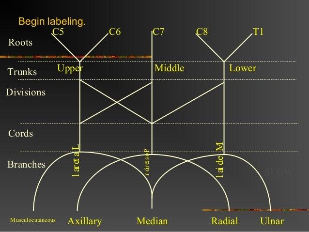 Brachial Plexus Diagram Dummies - DIY Enthusiasts Wiring Diagrams •