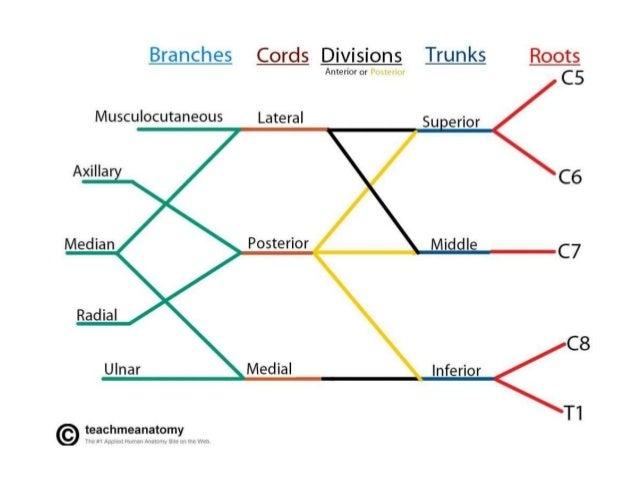 Brachial Plexus Anatomy