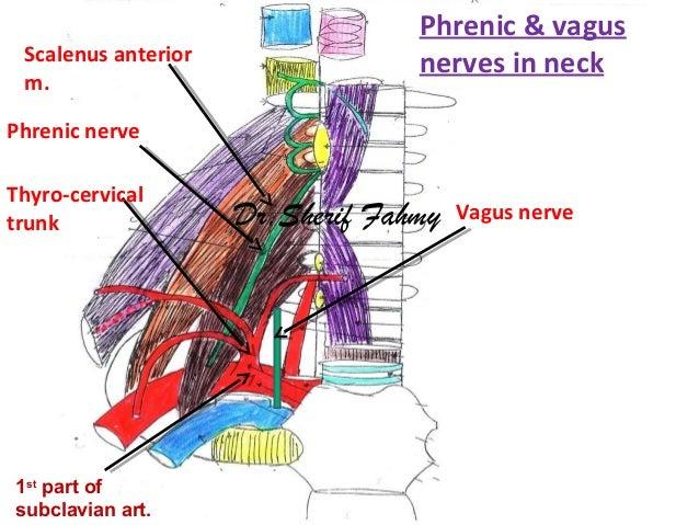 Brachiocephalic Veins (Anatomy of the Thorax)