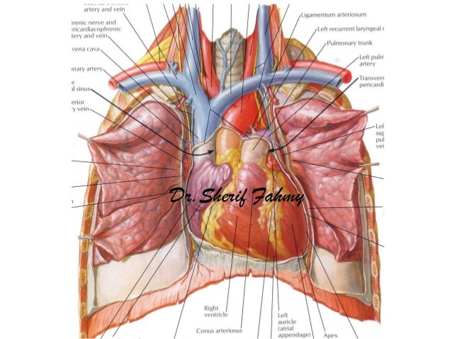 brachiocephalic veins (anatomy of the thorax), Human Body