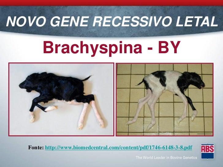 NOVO GENE RECESSIVO LETAL       Brachyspina - BY  Fonte: http://www.biomedcentral.com/content/pdf/1746-6148-3-8.pdf