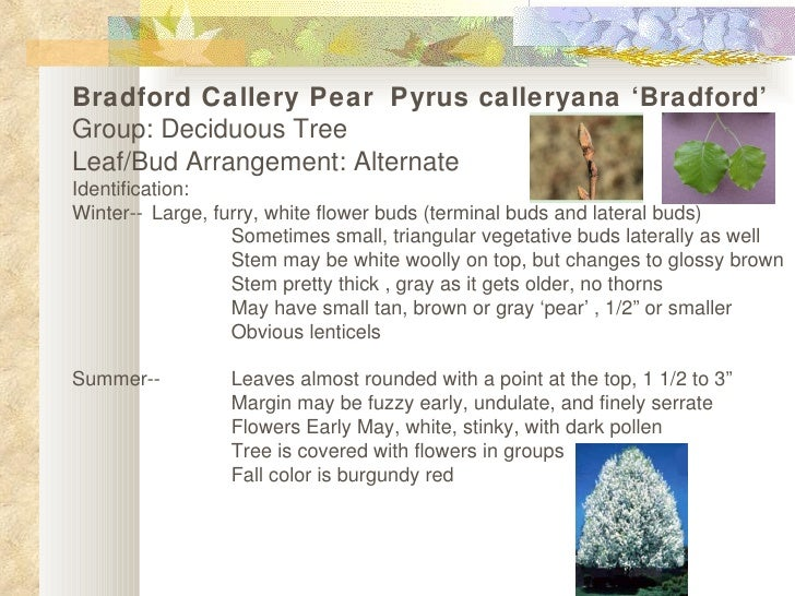 Bradford Callery Pear Pyrus calleryana 'Bradford' Group: Deciduous Tree  Leaf/Bud Arrangement: Alternate Identification: W...