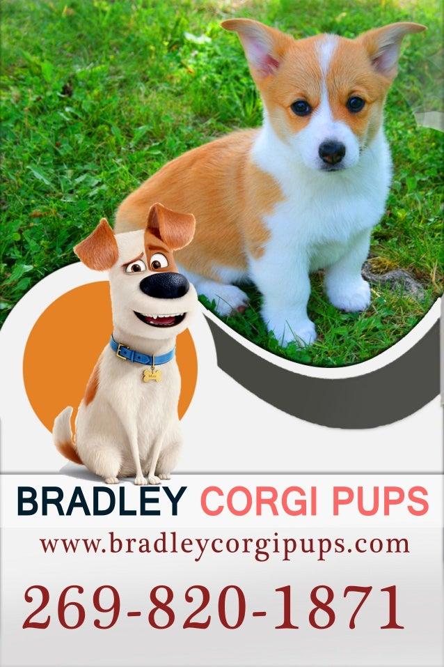 Red Corgi Puppies For Sale Corgi Puppies For Sale Near Me Bradley
