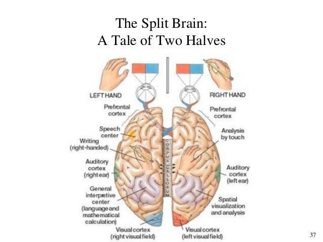 37 The Split Brain: A Tale of Two Halves ...