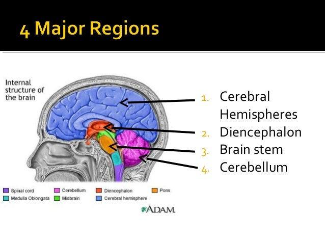 Anatomy & Physiology Lecture Notes - Brain