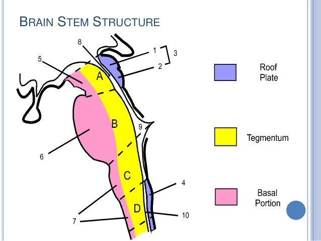deep dissection 8 brain stem lateral view 9 brainstem dissection
