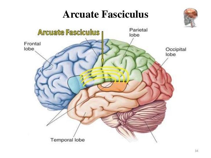 Anatomy And Physiology Brain Lobe Diagram - Electrical Work Wiring ...