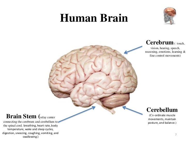 Human brain diagram vision auto wiring diagram today brain anatomy rh slideshare net simple brain diagram human brain drawing ccuart Choice Image