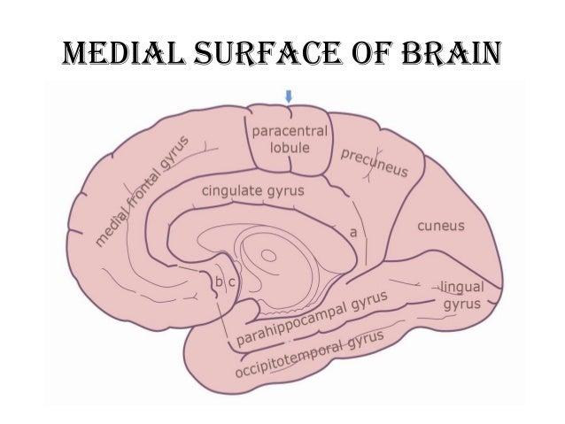 Brain Diagram Gyrus - House Wiring Diagram Symbols •