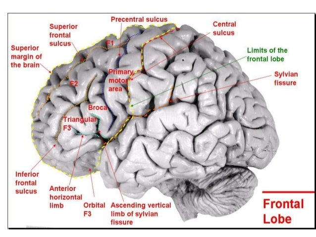 Anatomy Of Brain Sulcus And Gyrus Drjith Md Rd