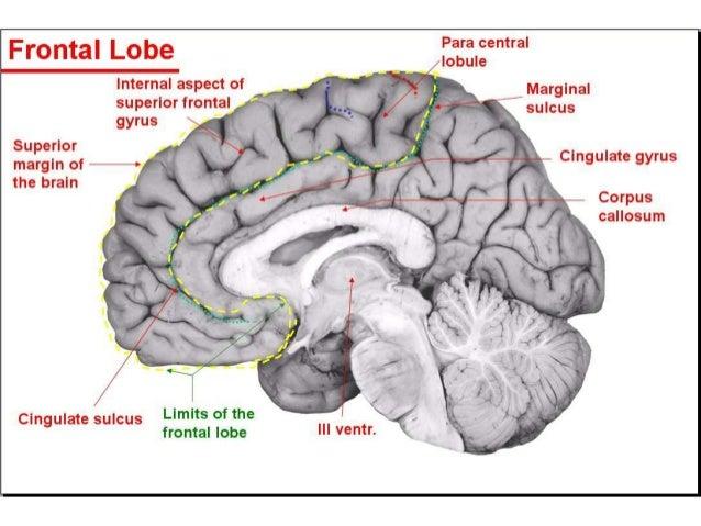 Gyral Anatomy Brain | www.imagenesmy.com