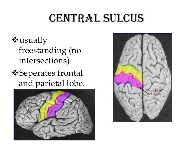 anatomy of brain sulcus and gyrus - dr.sajith md rd, Human Body