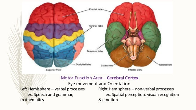 Brain anatomy and composition cadevt and equilibrium posture 8 ccuart Choice Image