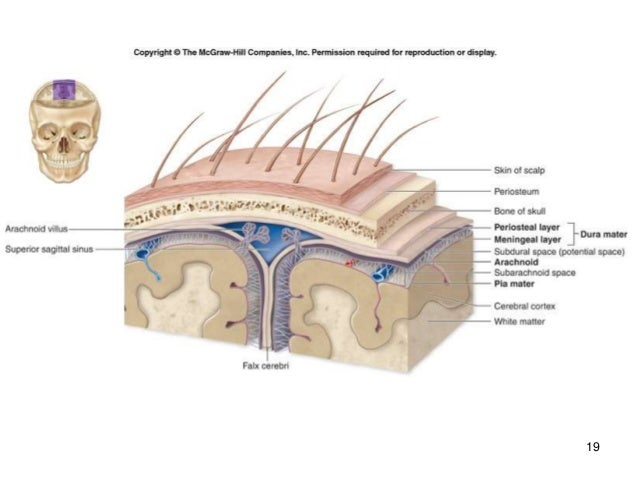 Brain and cranial nerves parts of the cranial meninges form some of the veins that drain blood from the brain from superficial to deep the cranial meninges are the dura mater ccuart Images