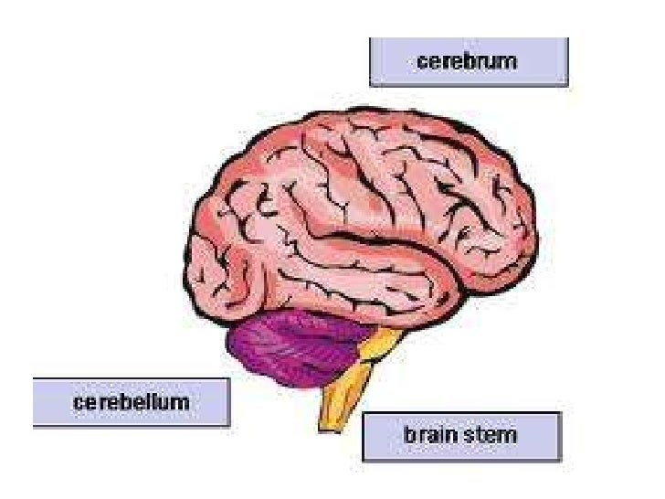 Diagram Of The 3 Major Parts Of The Brain Online Schematic Diagram