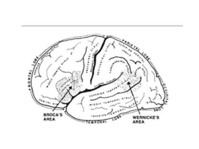 • Lateralization is the term used to refer to the localization of function to one hemisphere of the brain