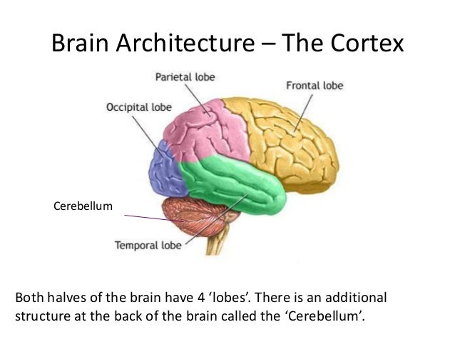 Brain Architecture – The Cortex      CerebellumBoth halves of the brain have 4 'lobes'. There is an additionalstructure at...