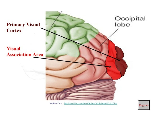 brain cortical regions and functions 17 638