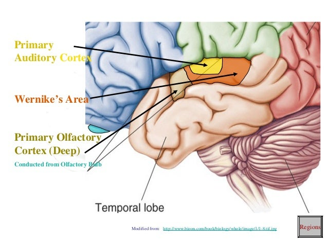 Brain Cortical Regions And Functionsrhslideshare: Primary Smell Cortex Location At Gmaili.net