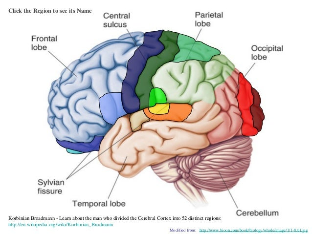 Brain Cortical Regions And Functions