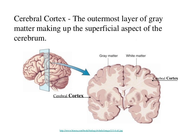 brain cortical regions and functions, Human Body