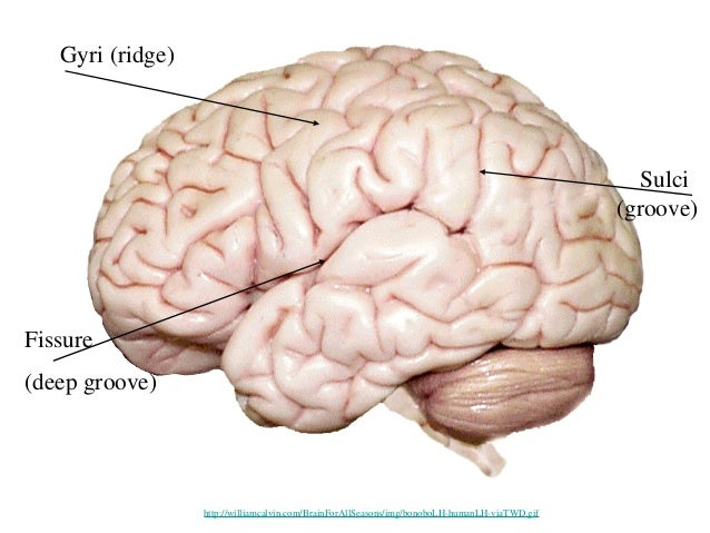 Brain cortical regions and functions gyri ccuart Image collections