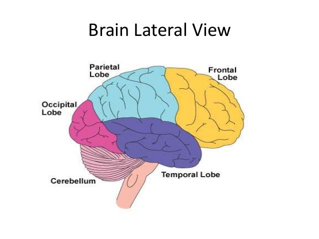 Lobes of the brain  Wikipedia