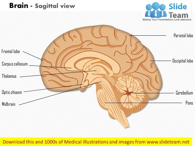 Brain sagittal view medical images for power point