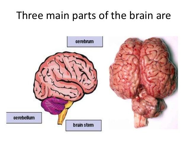 "ECD ""brain"""