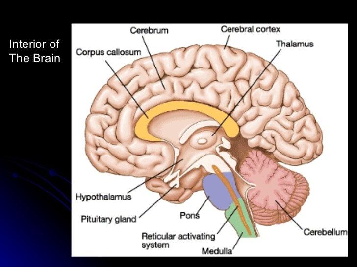 Interior Brain Diagram Color Coded Circuit Connection Diagram