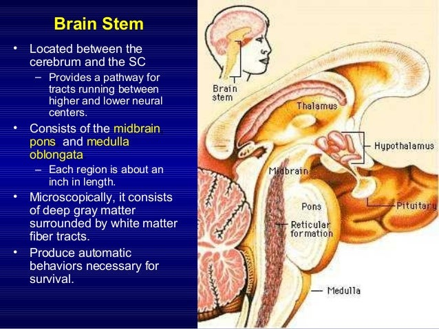 brainstem pathway, Human Body
