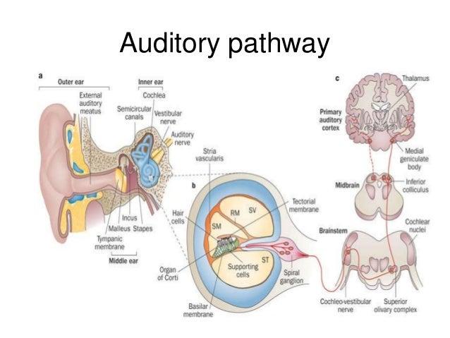 BAER - brainstem auditory evoked response: MedlinePlus ...