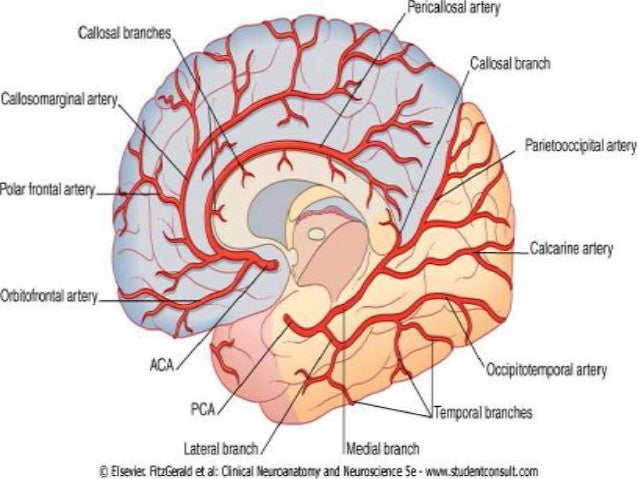Brain blood vessels anatomy diagram complete wiring diagrams brain vascular anatomy with mra and mri correlation rh slideshare net branching diagram of blood vessels ccuart Gallery