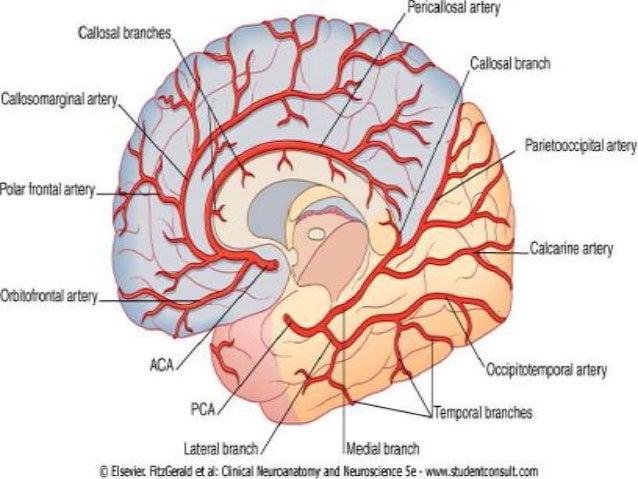 Brain Vascular Anatomy With Mra And Mri Correlation