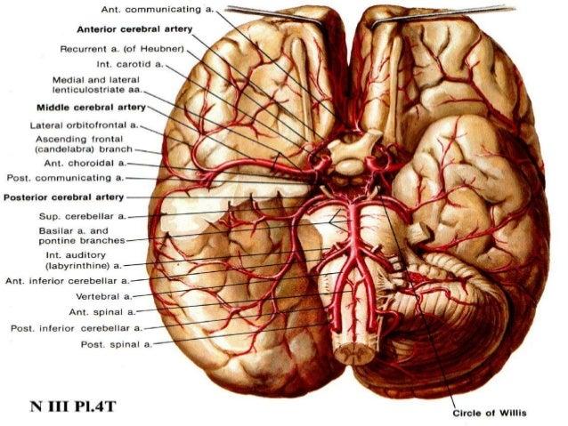 Cerebral anatomy vascular