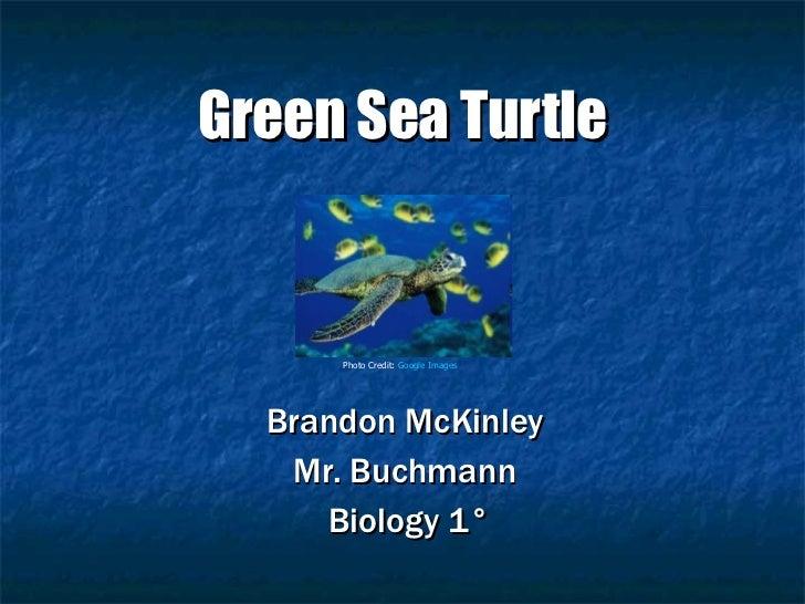 Green Sea Turtle Brandon McKinley  Mr. Buchmann  Biology 1° Photo Credit:  Google Images