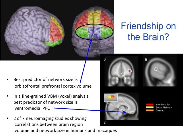 • Best predictor of network size is  orbitofrontal prefrontal cortex volume  • In a fine-grained VBM (voxel) analysis:  be...