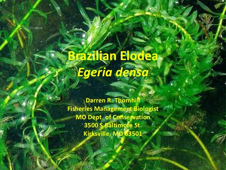 Brazilian Elodea Egeria densa       Darren R. ThornhillFisheries Management Biologist   MO Dept. of Conservation      3500...