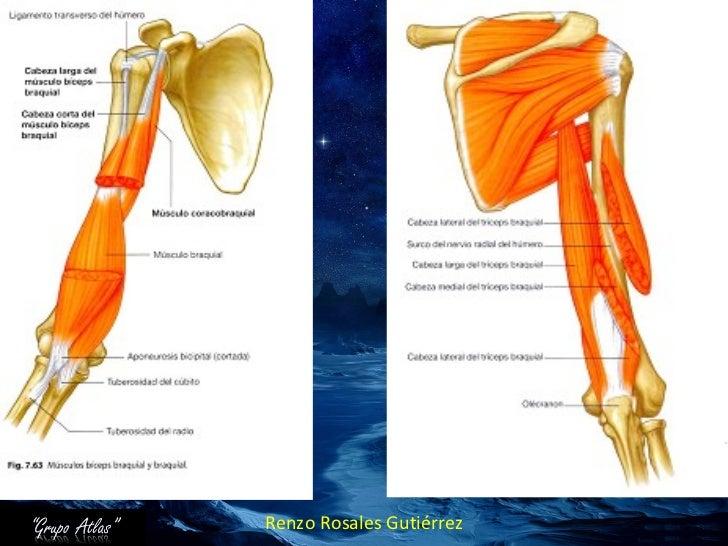 Anatomia Grupo Atlas Brazo Miembro Superior