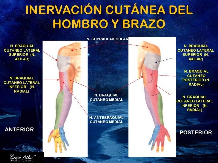 Fantástico Superior Anatomía Brazo Cresta - Anatomía de Las ...