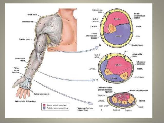 anatomia del brazo