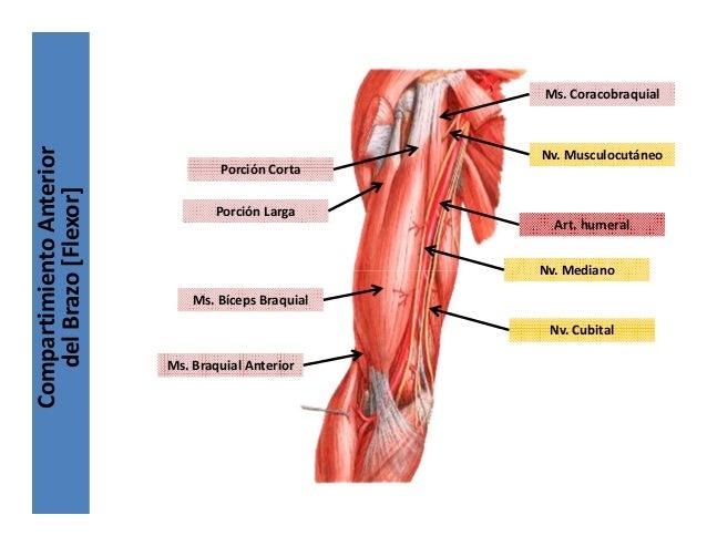 Moderno Anatomía Brazo Embellecimiento - Anatomía de Las Imágenesdel ...