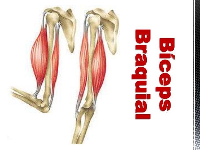 Brazo y hombro (Músculos y Huesos)