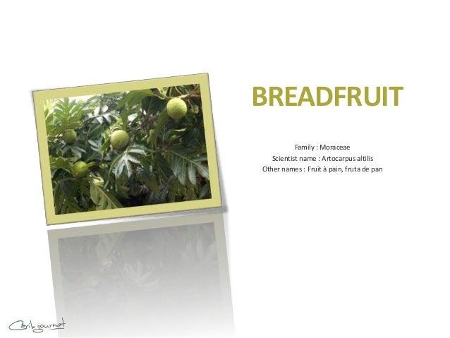 BREADFRUIT           Family : Moraceae   Scientist name : Artocarpus altilisOther names : Fruit à pain, fruta de pan