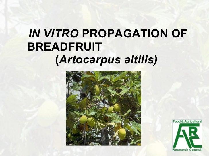 IN VITRO  PROPAGATION OF BREADFRUIT   ( Artocarpus altilis)