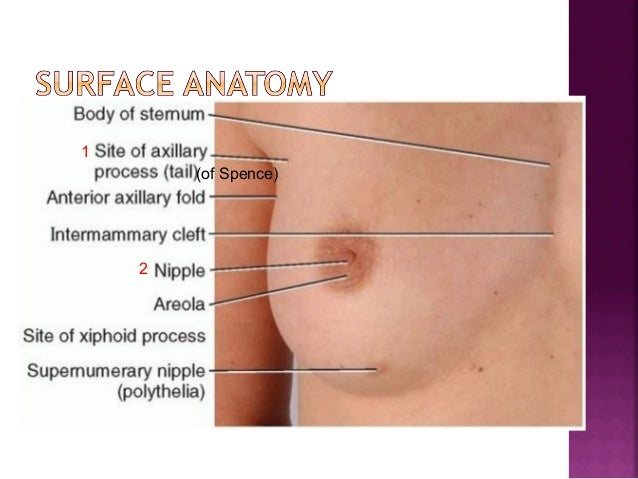 Surgical Anatomy Of Breast And Approach To Breast Carcinoma
