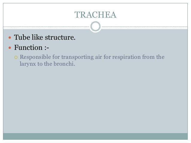 TRACHEA  Tube like structure.  Function :-  Responsible for transporting air for respiration from the larynx to the bro...