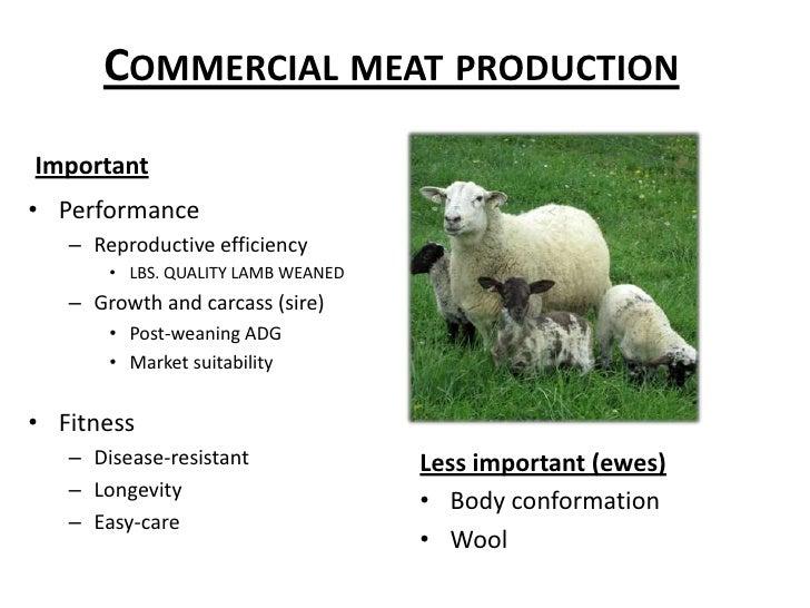 Breeding better sheep