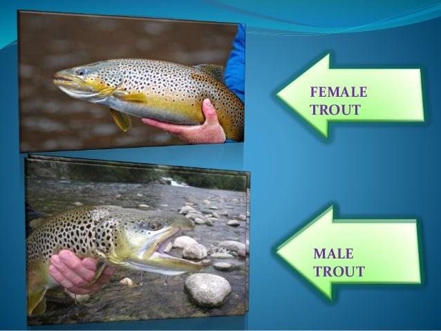 Rainbow trout - Wikipedia